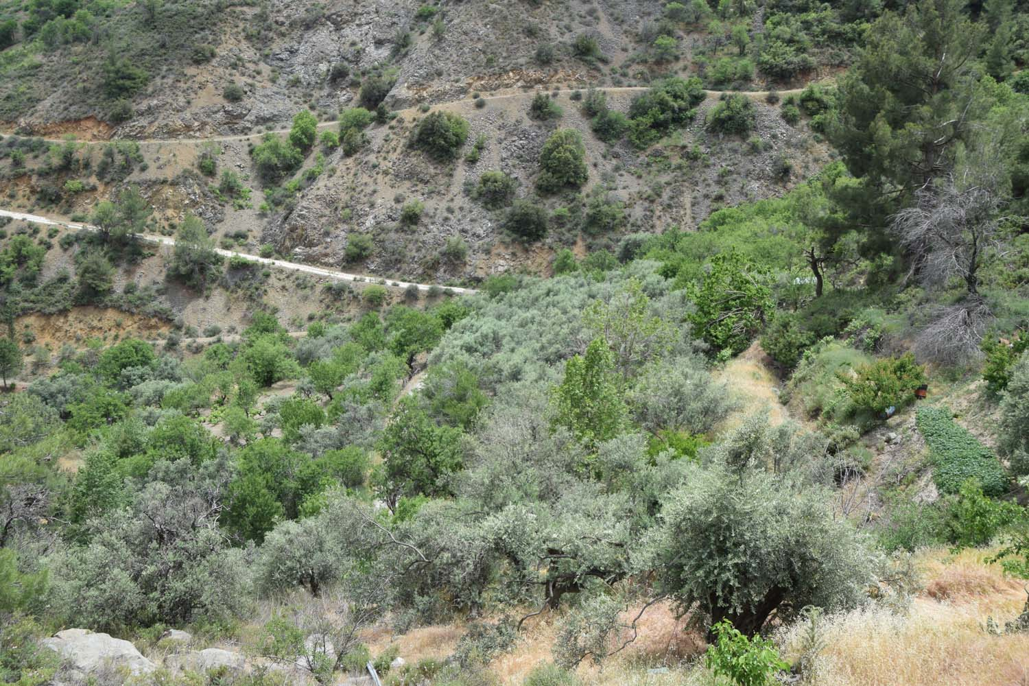 olive_cultivation_2