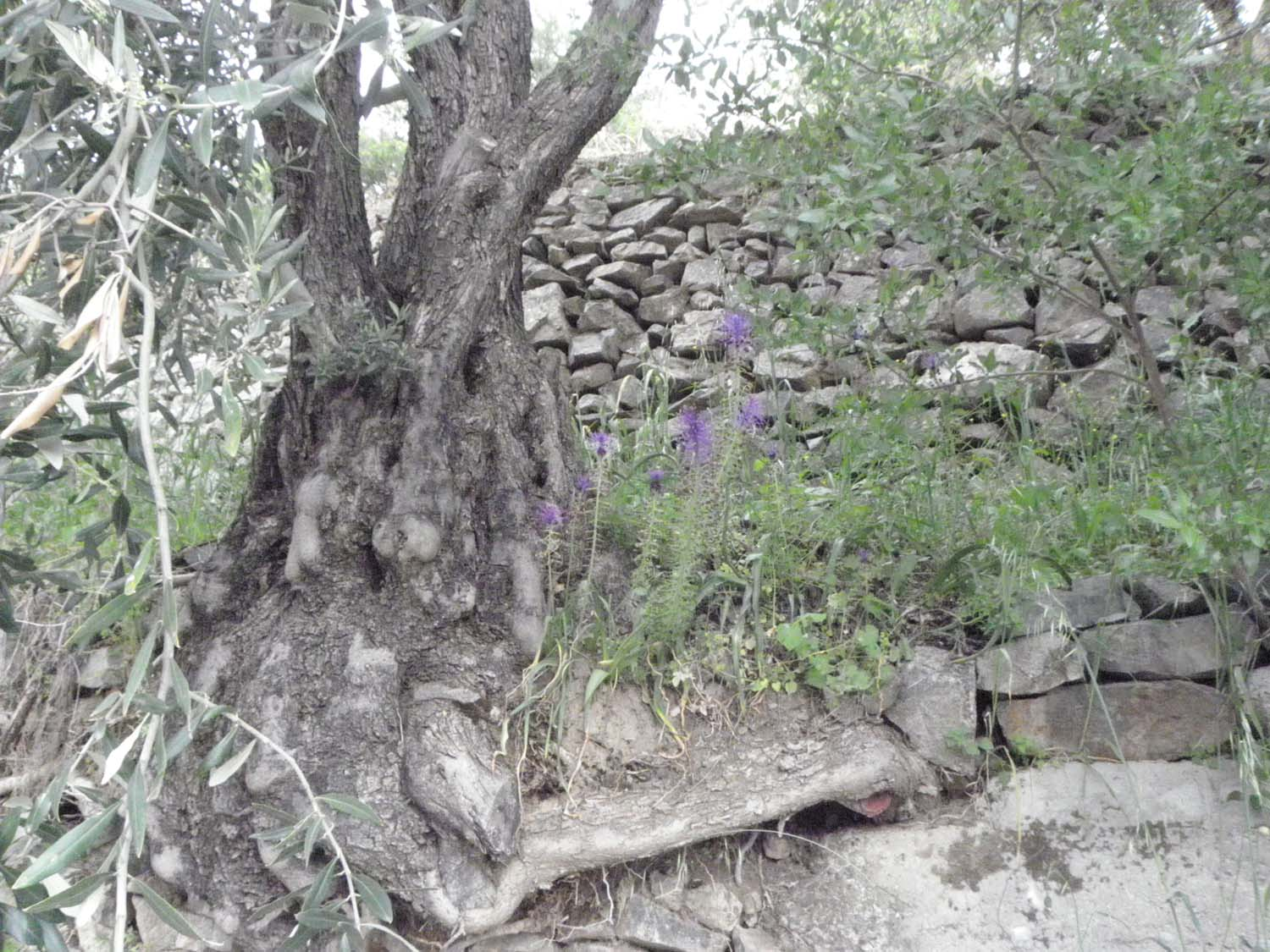 olive_cultivation_7